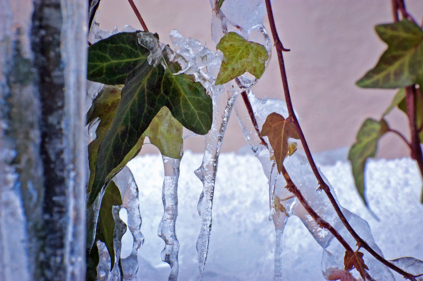 凍てつく朝のヘデラ