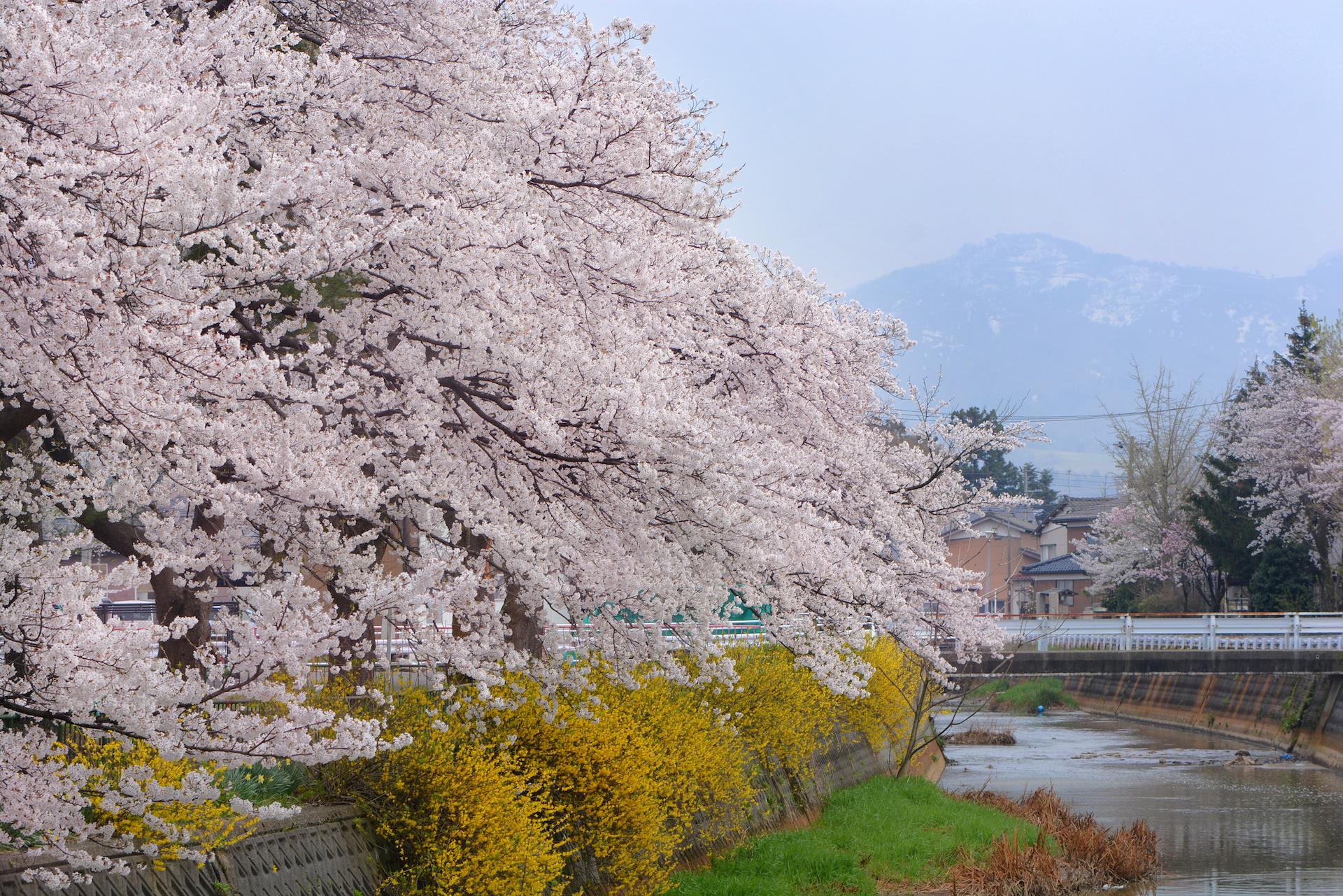 春の柿川/ソメイヨシノとレンギョウ/残雪の東山連峰